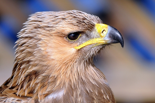 Indian Tawny Eagle